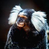 image of marmosets  - Monkey white tufted marmoset or titi de penachos blancos - JPG
