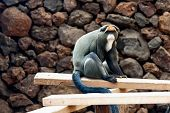 pic of marmosets  - Monkey sitting on wodden log in zoo - JPG