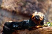 stock photo of titi monkey  - Black monkey titi leon or golden - JPG