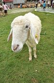 Sheep Single Grass Park