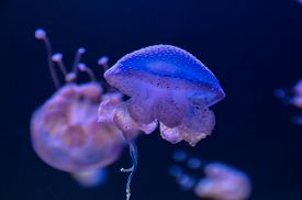 stock photo of medusa  - Small Jelly Fish Medusa Colored by the Light - JPG