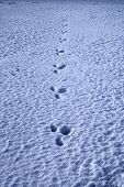 A Solitary Rabbit Trail