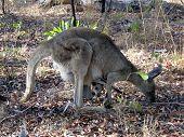 Kangaroo With A Big Joey