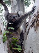 Cool Looking Koala