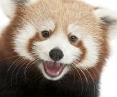 Close-up of Young Red panda or Shining cat, Ailurus fulgens, 7 months old, in front of white backgro