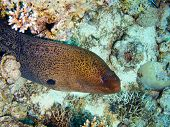 Moray eel in the Red Sea