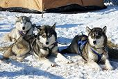stock photo of husky sled dog breeds  - Participants of competition prepare for arrival  - JPG