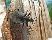 Escarabajo Carabus (Calosoma Sycophanta)