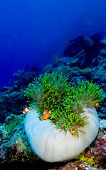 Clownfish family in a partially closed anemone