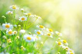 Chamomile field flowers border. Beautiful nature scene with blooming medical chamomilles in sun flar poster