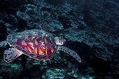 Loggerhead Turtle, Table Coral City, Wakatobi, 18/08/2008
