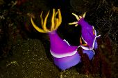 Pair Of Purple Dorid Nudibranchs