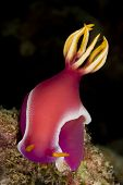 Pink Dorid Nudibranch (portrait)