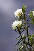 Labrador Tea Close Up