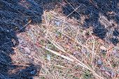 Burnt Grass. In The Center There Is The Unburned Dry Grass On The Edges Black And Burnt. Through The poster