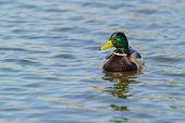 Drake - Male Mallard Duck (lat. Anas Platyrhynchos) On The Water poster