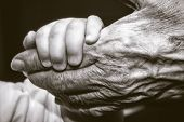 Childs Hand And Old Wrinkled Skin Palm Finger Concept Idea Of Love Family Protecting Children And El poster