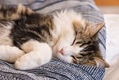 Closeup Of White Tabby Cat Sleeping In Bed poster