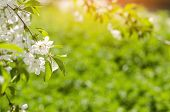 Cherry Blossom On A Sunny Day, The Arrival Of Spring, The Blossoming Of Trees, Buds On A Tree, Natur poster