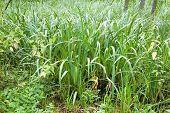 Marshland Plant Acorus Calamus Closeup