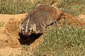 Badger Digging Den