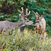 Two mule deer bucks with velvet antlers interact