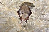 Lesser Mouse-eared Bat (myotis Blythii). Selectiv Focus poster