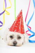 stock photo of party hats  - small white dog with a party hat amongst colourful streamers - JPG