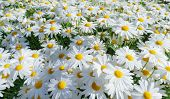Camomile Oxeye Daisy Meadow Background,daisy Flowers On Meadow In Summer Time. poster