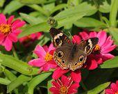 Buckeye Butterfly (Precis coenia)