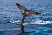 stock photo of whale-tail  - Humpback Whale Tail - JPG
