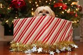 Christmas Dog. A beautiful Morkie half Maltese half Yorkie Puppy dog presented as a Christmas Gift u poster