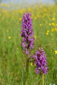 Purple Orchis Blooms In The Meadow. Orchis Mascula, The Early-purple Orchid. poster