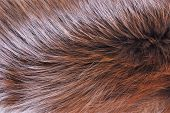 Arctic Fox Fur Animal-tanned Skin With Wool. Fur Is The Hair Coat Of Mammals, Protects From Winter C poster