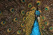 Peacock Splendor Illustration