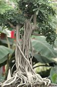 Roots Of Bonzai Tree