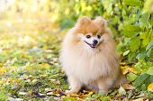 Beautiful Little Fluffy Pomeranian On Autumn Natural Background At Sunset. Dog Obedience And Trainin poster
