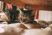 Beautiful Tabby Cat Sleeping Under A Table. Domestic Cat. Lovely Cat Portrait. Domestic Animals And  poster
