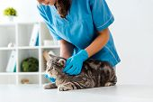 Cropped View Of Young Veterinarian Examining Tabby Scottish Straight Cat On Table poster