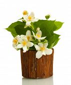 beautiful jasmine flowers in flowerpot isolated on white