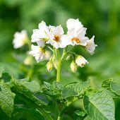 Kartoffel-Busch mit weißen Blüten blühen