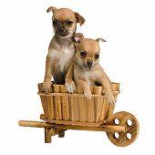 Chihuahua puppies inside the wooden cart, isolated on white