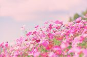 Colorful Pink Flowers Cosmos In The Garden Background / Beautiful Cosmos Flower In Nature poster