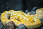 Close Up Of Big Python Regius Or Royal Python Is A Large Non Poisonous Snake. Large And Massive Ball poster