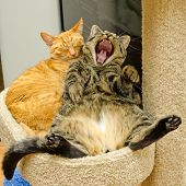 One sleeping and another cat yawning, yelling or laughing