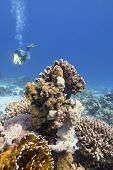 Colorful Coral Reef At The Bottom Of Tropical Sea, Hard Corals And Diver, Underwater Landscape poster