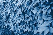 Wild Grapes On Wall. Classic Blue Color Leaves Of Ivy On A Wall Closeup. Wild Grapes Classic Blue Co poster