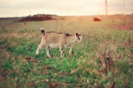 picture of open grazing area  - On a green meadow the goat is grazed - JPG