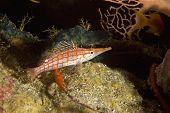 foto of hawkfish  - longnose hawkfish  - JPG