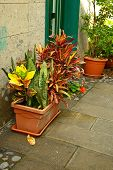stock photo of crotons  - Flower pot with nice arrangement of croton plants - JPG
